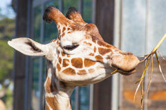 Reticulated giraffe. (Giraffa camelopardalis reticulata) is a subspecies of giraffe native to Somalia, southern Ethiopia, and northern Kenya Royalty Free Stock Image