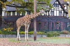 Reticulated giraffe (Giraffa reticulata) in the Berlin Zoo Royalty Free Stock Photos