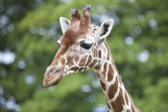 Reticulated Giraffe head and Neck Stock Photo