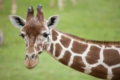 Reticulated Giraffe head and Neck. Landscape view of a Reticulated Giraffe head and neck Stock Images
