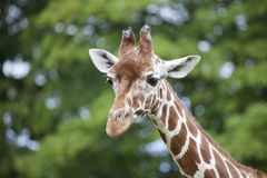 Reticulated Giraffe head and Neck. A side profile view of a Reticulated Giraffe head and neck Royalty Free Stock Photo