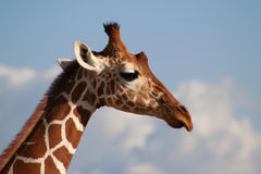 Reticulated Giraffe Head profile. The reticulated girafe has very clearly definded edges between its markings. The Masaai giraffe looks as if the brown patches royalty free stock photo