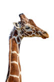 Reticulated Giraffe Royalty Free Stock Photography