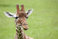 Reticulated Giraffe head Royalty Free Stock Photos