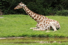 Reticulated  giraffe juvenile Royalty Free Stock Image
