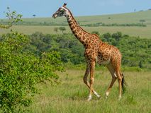 Reticulated giraffe in a Kenya stock image