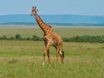 Reticulated giraffe in a Kenya stock photos