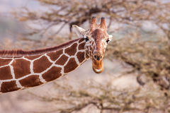 Reticulated Giraffe the male portrait, against backdrop of savannah. Close up Royalty Free Stock Photos