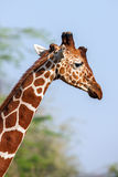 Reticulated Giraffe the male portrait, against backdrop of savannah. Close up Stock Photo