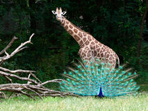 Reticulated Giraffe with an opened peacock Stock Photography