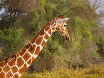 Reticulated giraffe with oxpeker Royalty Free Stock Photography