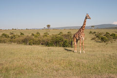 Reticulated Giraffe. Photo of a reticulated giraffe in the wild, in Masai Mara National Park, Kenya royalty free stock photos