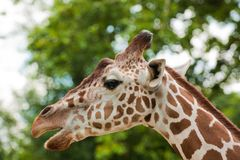 Reticulated giraffe portrait Stock Photos