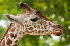 Free Reticulated Giraffe Portrait Stock Images - 17151984