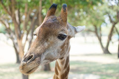 Reticulated giraffe portrait. Portrail of Reticulated giraffe Giraffa camelopardalis reticulata Stock Images