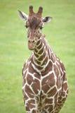 Reticulated Giraffe Stock Image
