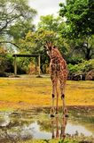 Reticulated Giraffe After the Rain Stock Images