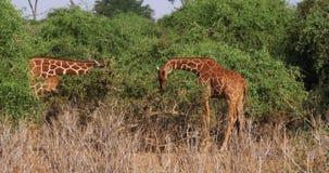 Reticulated Giraffe, reticulata camelopardalis giraffa, ζευγάρι που τρώει τα φύλλα, πάρκο Samburu στην Κένυα απόθεμα βίντεο