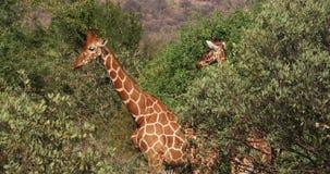 Reticulated Giraffe, reticulata camelopardalis giraffa, ζευγάρι στο πάρκο Samburu στην Κένυα απόθεμα βίντεο