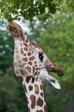 Reticulated giraffe (reticulata camelopardalis Giraffa) Στοκ Εικόνες