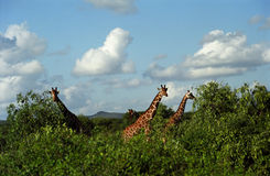 Reticulated giraffe, Samburu Game Reserve, Kenya Stock Image