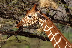 Reticulated giraffe, Samburu Reserve, NE Kenya Royalty Free Stock Photo