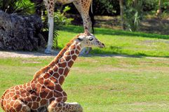 Reticulated giraffe sitting on grass Royalty Free Stock Photos