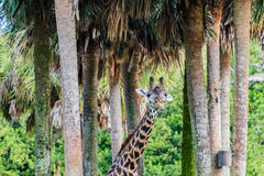 Reticulated giraffe. In some trees Royalty Free Stock Photos