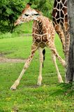 Female reticulated giraffe in zoo Royalty Free Stock Photo