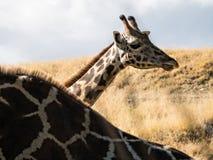 Reticulated Giraffe Stock Photos