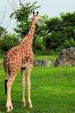 Reticulated giraffe in zoo Stock Photo