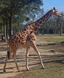 Reticulated Giraffe Walking stock photography