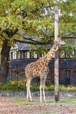 Reticulated giraffe (Giraffa reticulata) in the Berlin Zoo Stock Image