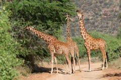 Reticulated Giraffes. Three reticulated giraffes stretching their necks to feed on acacia tree on roadside in Samburu Game Reserve, Kenya Royalty Free Stock Photo