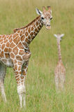 Reticulated Giraffes Stock Images