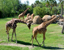 Reticulated giraffes. Three Somali or Reticulated giraffes (Giraffa camelopardalis reticulata) in an animal reserve in Florida Royalty Free Stock Photography