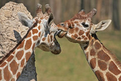 Reticulated Giraffes Stock Image