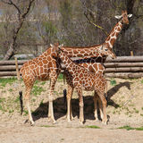 Reticulated giraffes. Group of reticulated giraffes (Giraffa camelopardalis reticulata stock photography