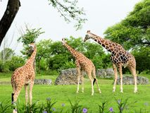 Three giraffes in zoo Royalty Free Stock Image