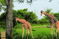 Two giraffes looking at camera Stock Images