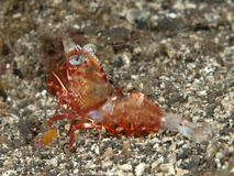Reticulated Hinge-Beak Shrimp Royalty Free Stock Photography