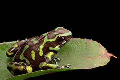 Reticulated poison arrow frog Royalty Free Stock Images