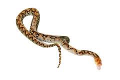 Reticulated Python που απομονώνεται στοκ φωτογραφίες