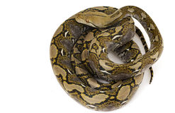 Reticulated Python. (Python reticulatus) on white background Royalty Free Stock Images