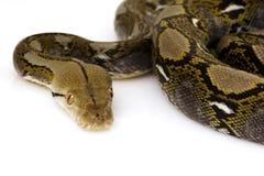 Reticulated Python. (Python reticulatus) on white background Stock Photo