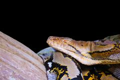 Reticulated Python  royalty free stock image