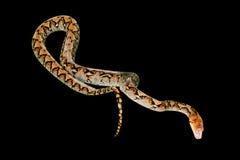 Reticulated Python on black Stock Photos