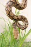 Reticulated python, Boa φίδι στη χλόη, Boa σφιγκτήρας snak Στοκ εικόνα με δικαίωμα ελεύθερης χρήσης