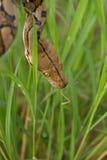 Reticulated python, Boa φίδι στη χλόη, Boa σφιγκτήρας snak Στοκ φωτογραφίες με δικαίωμα ελεύθερης χρήσης