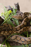 Reticulated python, Boa constrictor snake on tree branch Royalty Free Stock Photo